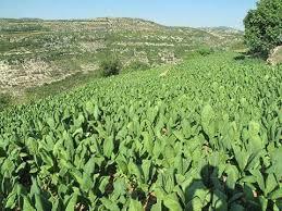 زيادة في مؤشرات زراعة التبغ ومردوده  ودعم إنتاجية الأصناف في وحدة المساحة