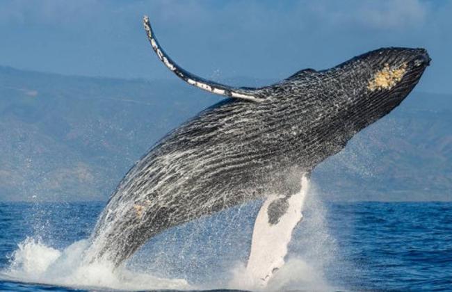 """""""التخفي الصوتي"""" لحماية الحيتان لصغارها"""