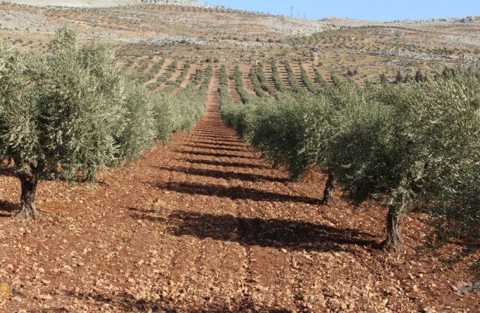 مزارعو منطقة المخرم.. ومطالب بتوفير المياه لري أشجار الزيتون وزيادة المقنن العلفي