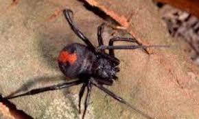 بعد الحرائق والفيضانات.. عناكب مميتة تنتشر في أستراليا