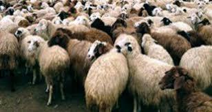 ضوابط جديدة لتحرّك القطعان.. التهريب ينقل تربية السلالات المحلية النادرة إلى الخارج !