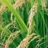 سورية أنتجت الرز منذ 1948 والقطن توسّع على حسابه!.. موائدنا تحتاج إلى 300 ألف طن سنوياً مستوردة 100%