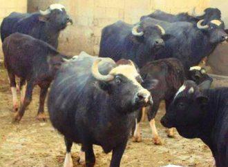الجواميس ثروة حيوانية لا تعيش إلا في الجزيرة السوريّة